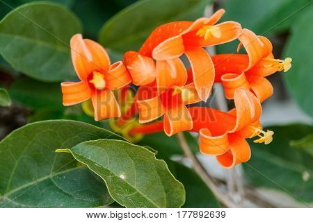 Orange trumpet Pyrostegia Venusta in flower garden.