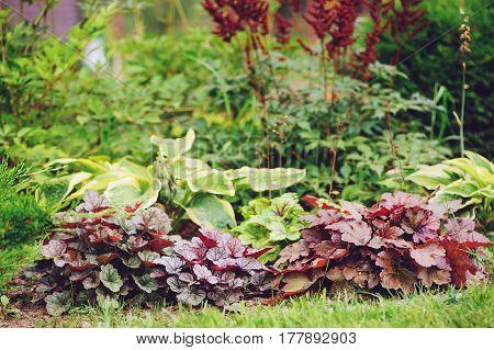 Mixed perennials combination in summer garden with heucheras and hostas