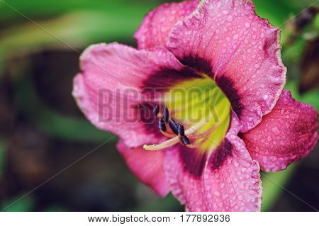 blooming daylily flowers