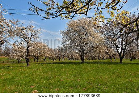 An old orchard blooming in the spring blue sky and green grass