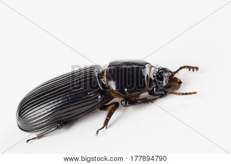 Close up of shiny black horned scarab beetle with golden orange hairs likely Odontotaenius disjunctus found in North Carolina.