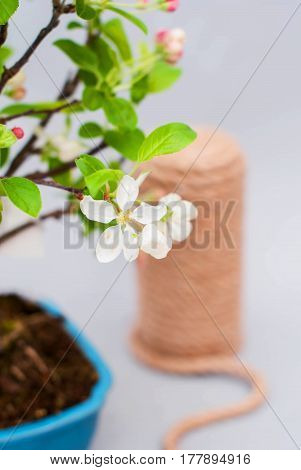Room blossoming apple bonsai with pink and white flowers on a light gray background