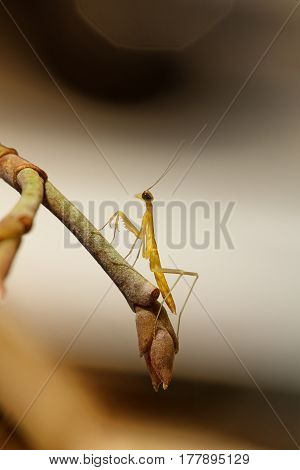 Close up of golden praying mantis nymph on twig