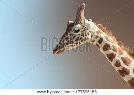 Funny yang giraffe's face isolated close up