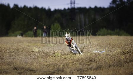 Whippet Dog Running. Coursing, Passion And Speed