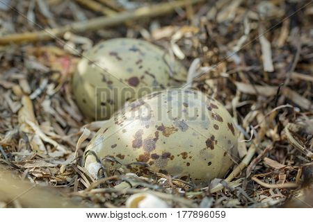 Multicolored, spotted gull eggs in natural habitat, close-up
