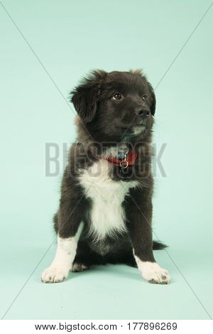 Cute mixed breed border collie puppy on green background