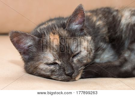 A young three-color fluffy cat sleeps on the sofa