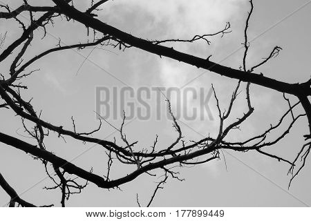 Black and white tree branches isolated for background