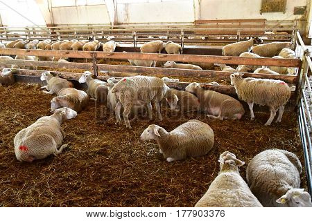Thiverval Grignon France - august 13 2016 : sheeps and lambs in the Agroparistech farm