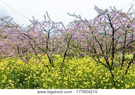 The blossoming peach flower fields scenery in the fog