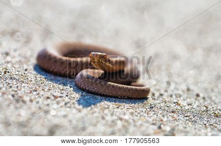 Adder (vipera Berus) Basking On Sun