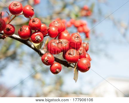 Some lush and some dried red berries on a branch hanging.