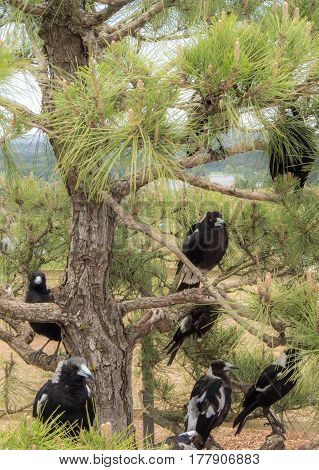 Large group of magpies sitting in a tree