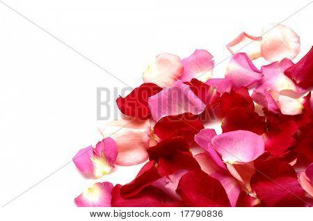 Petals of a pile rose