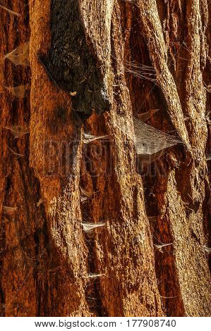 Bark of old sequoia millennial California wood tree