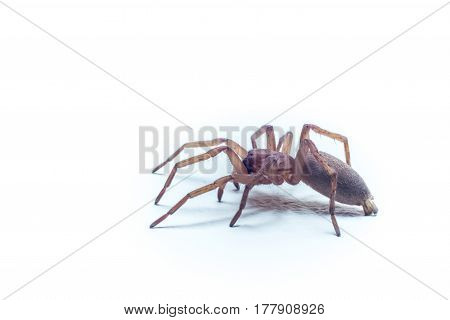 Macro light brown home spider with white background