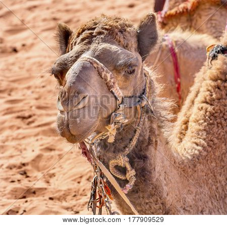 Camel Close Up Wadi Rum Valley of the Moon Jordan. Inhabited by humans since prehistoric times place where TE Lawrence of Arabia in the early 1900s