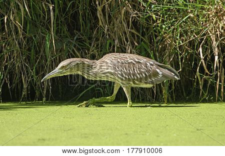 Immature Black Crowned Night Heron Stalking Prey in The Skokie Lagoons in Illinois