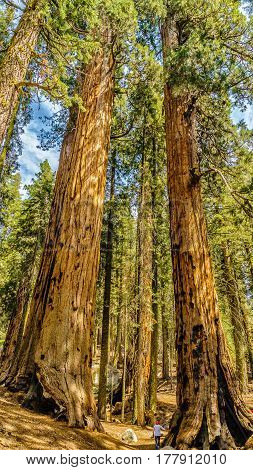 Giant sequoia trees in Sequoia National Park California