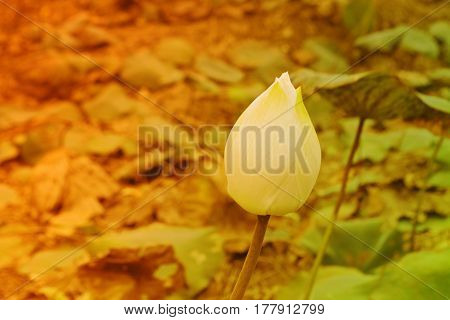 white lotus water lily in pond background