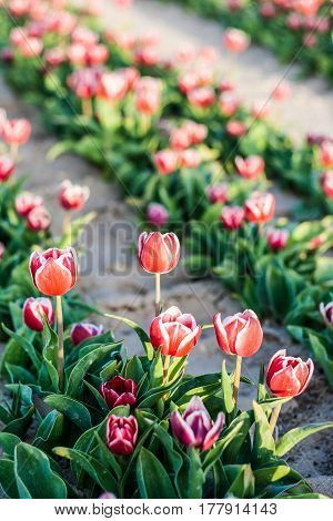 Tulip. Beautiful Bouquet Of Tulips. Colorful Tulips. Tulips In Spring,colourful Tulip