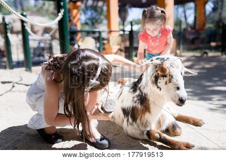 Girl is grooming a goat, with a brush, at a petting zoo.