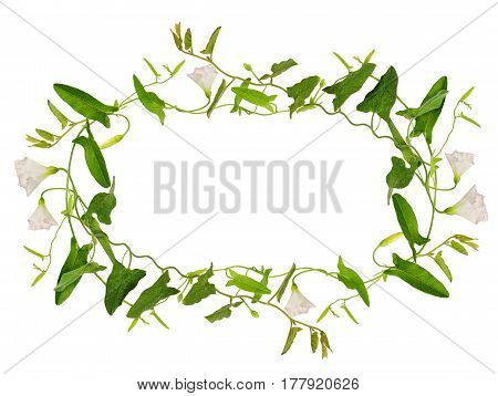 Bindweed flower and leaves in a frame isolated on white