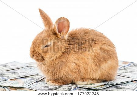 Beautiful fluffy red bunny lies on dollars with closed eyes, isolated on white background