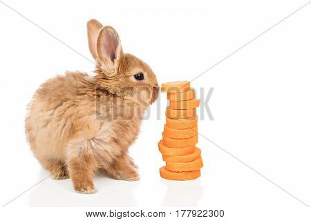 Red-haired rabbit sitting next to a sliced carrot and sniffing it, isolated on a white background