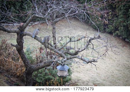 California Quails On Bare Tree Branches