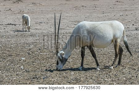 The antelope Arabian white oryx (Oryx dammah) inhabits the Israeli nature reserve because this species is in danger of extinction in its native environment of Sahara desert poster