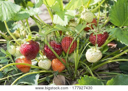 In the summer the garden a bright sunny day is growing strawberries.