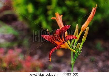 blooming orange daylily flowers closeup in summer