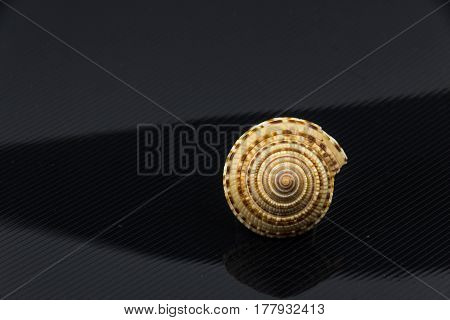Beautiful sea shell Trochus niloticus  on a black background