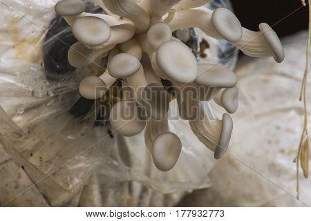 Oyster mushrooms fresh mushrooms closeup, sensitive focus