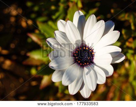 white gerbera flower in the sun light