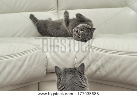 Female cat lying on sofa and male cat trying to approach to her