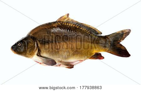 Fish carp. Fresh gutted. Carp mirror beautiful