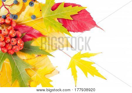 Autumn background with yellow and red leaves and rowan berry. Falling leaves on a white background.