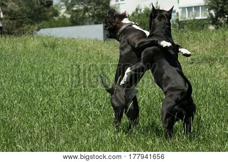 Horizontal portrait of two breeds of dogs American Staffordshire Terrier dog black, tall in the fight game on the green grass on a sunny day
