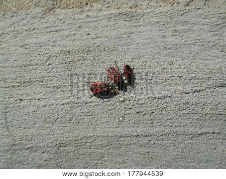 Insect on a wall covered with plaster. Pyrrhocoris apterus
