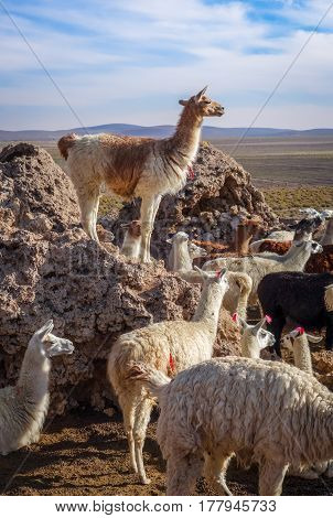 Lamas Herd In Bolivia