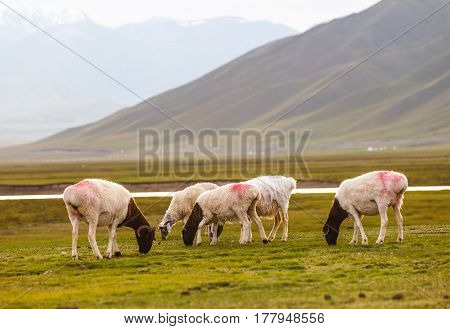 sheep on the grassland