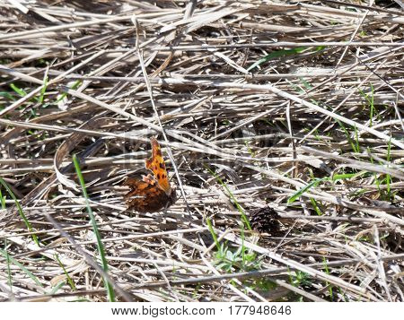 A butterfly landing onto some crushed reeds.