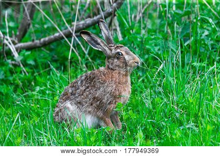 Wild Hare Sitting In A Green Grass