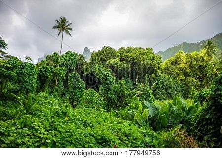 Moorea Island Jungle And Mountains Landscape