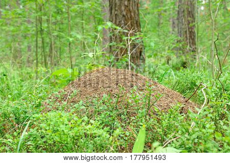 big ant hill among the trees in a dense forest