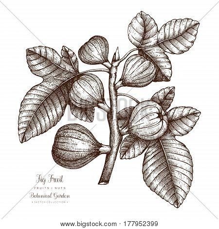 Fig tree botanical illustration. Hand drawn vector.