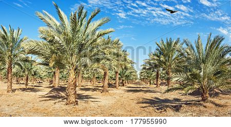Plantation of date palms have an important place in advanced desert agriculture of the Middle East.